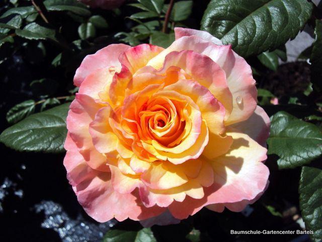 Edelrose Aquarell Rosen Gartencenter Und Garten