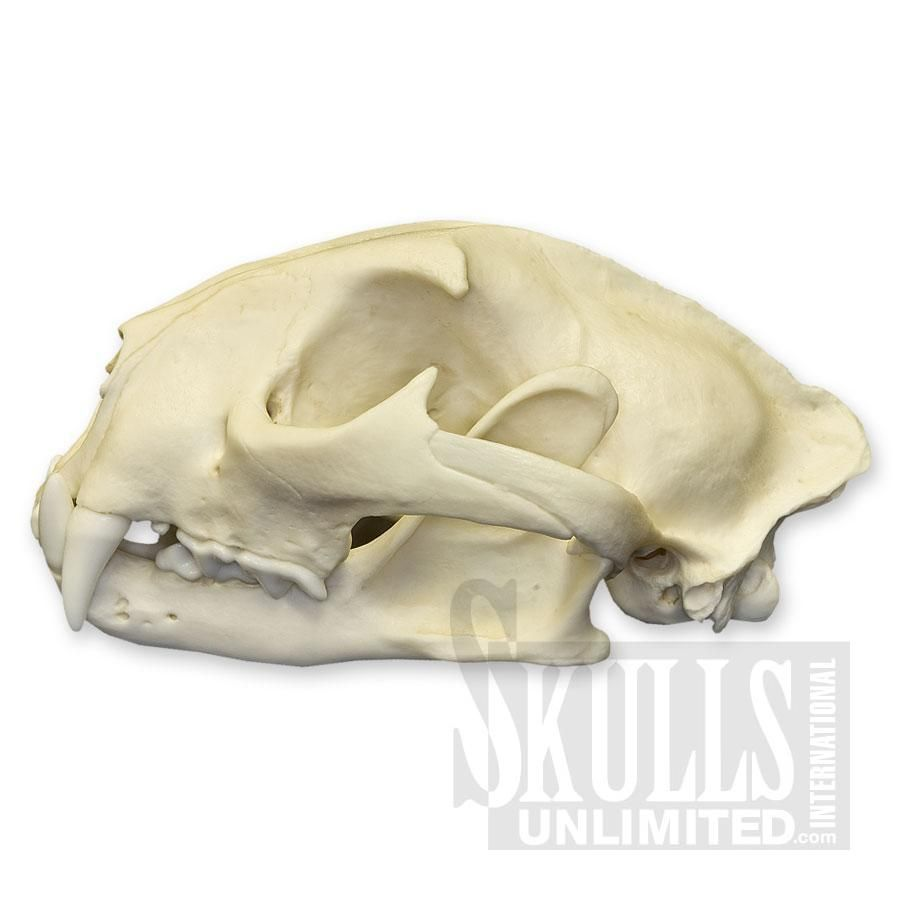 Mountain Lion Resin Skulls Related Keywords & Suggestions