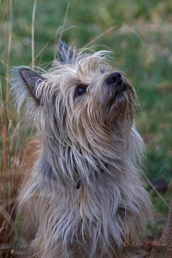 Chester Chewy On Squirrel Duty Cairn Terrier Glen Of Imaal