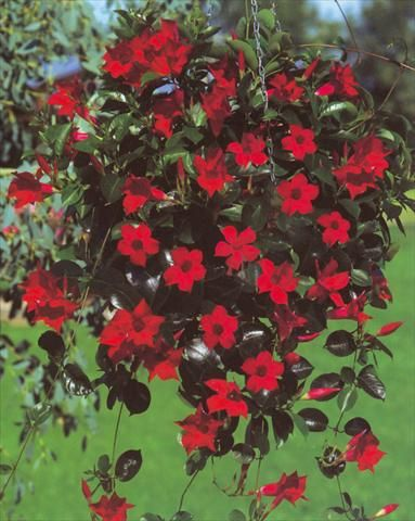 dipladenia sundaville red is the most visited item on the flower finder this week flowerfinder. Black Bedroom Furniture Sets. Home Design Ideas