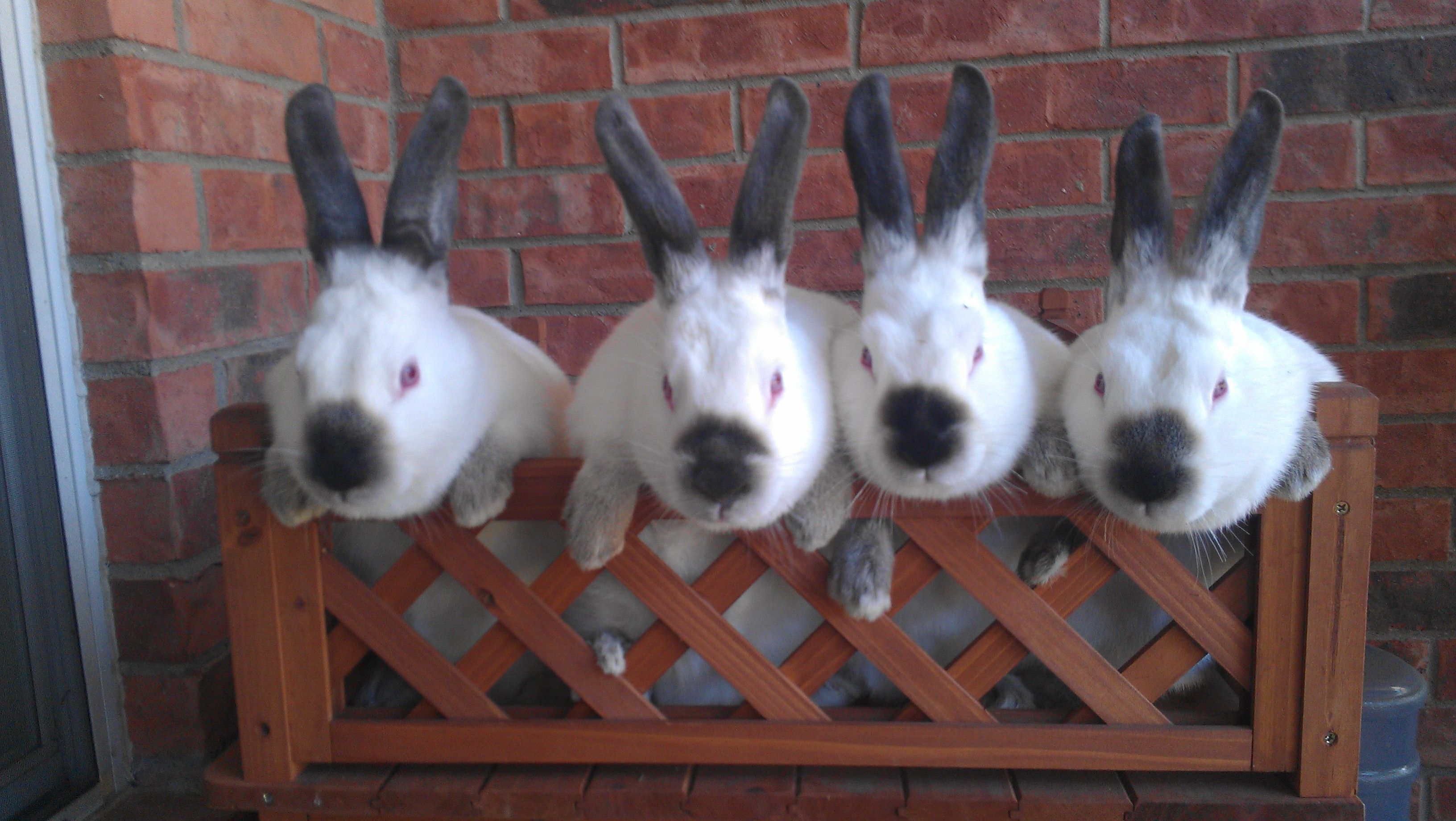 Four Californian Rabbits standing over lattice