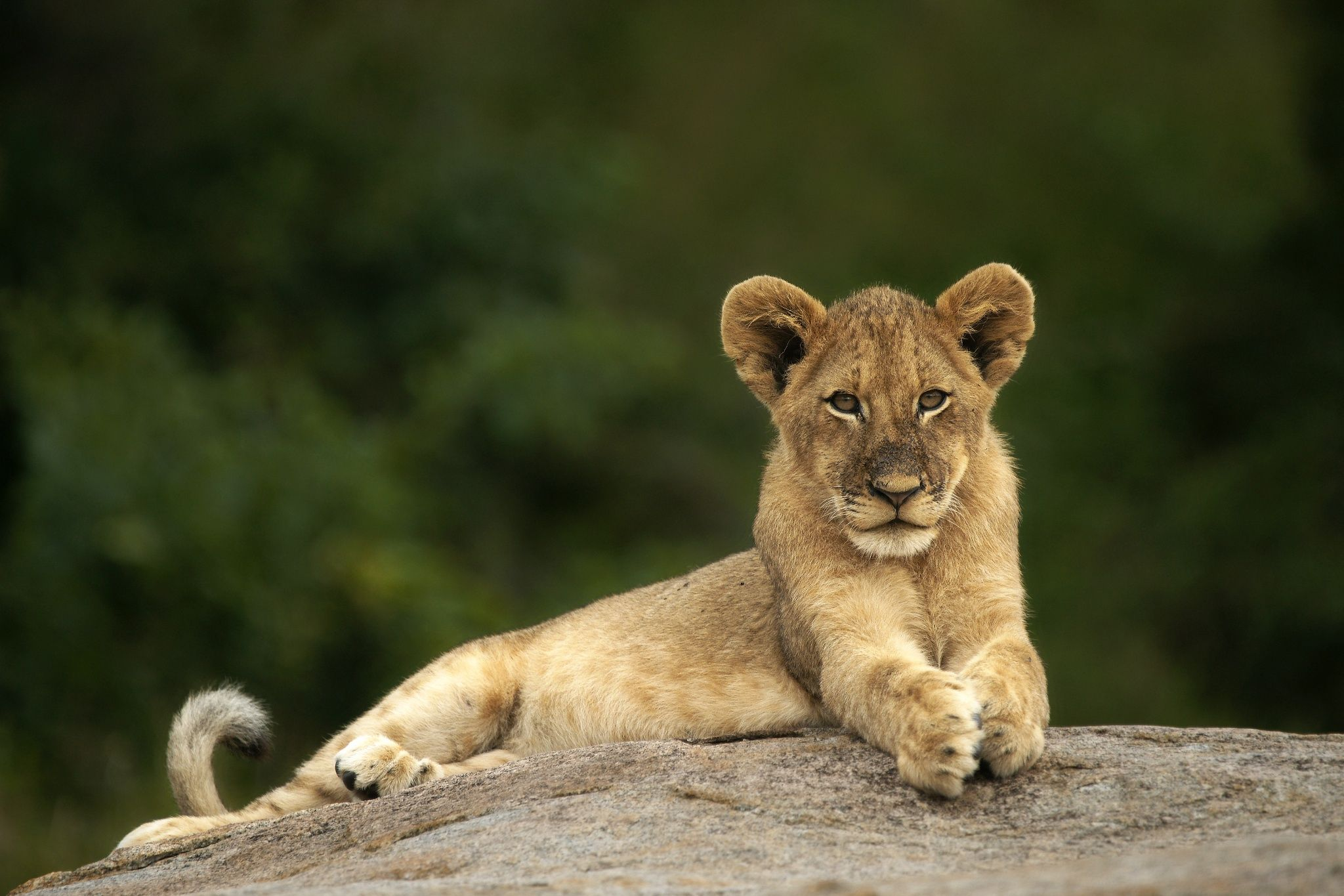 Lion Cub Lookout by Rudi Hulshof - Photo 17619269 - 500px