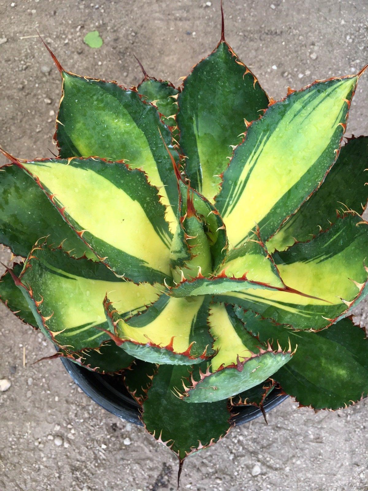Aristaloe Aristata Lace Aloe Com Imagens Suculentas