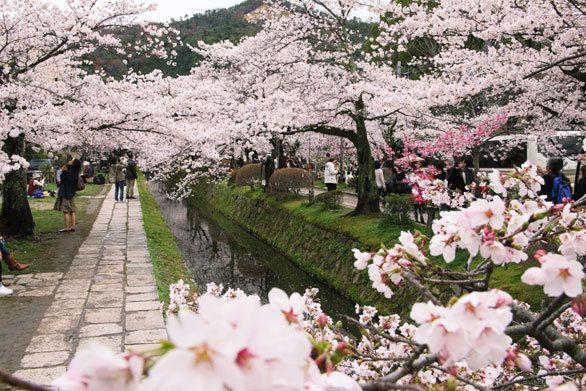 哲学の道 Cherry blossoms SAKURA in Kyoto JAPAN