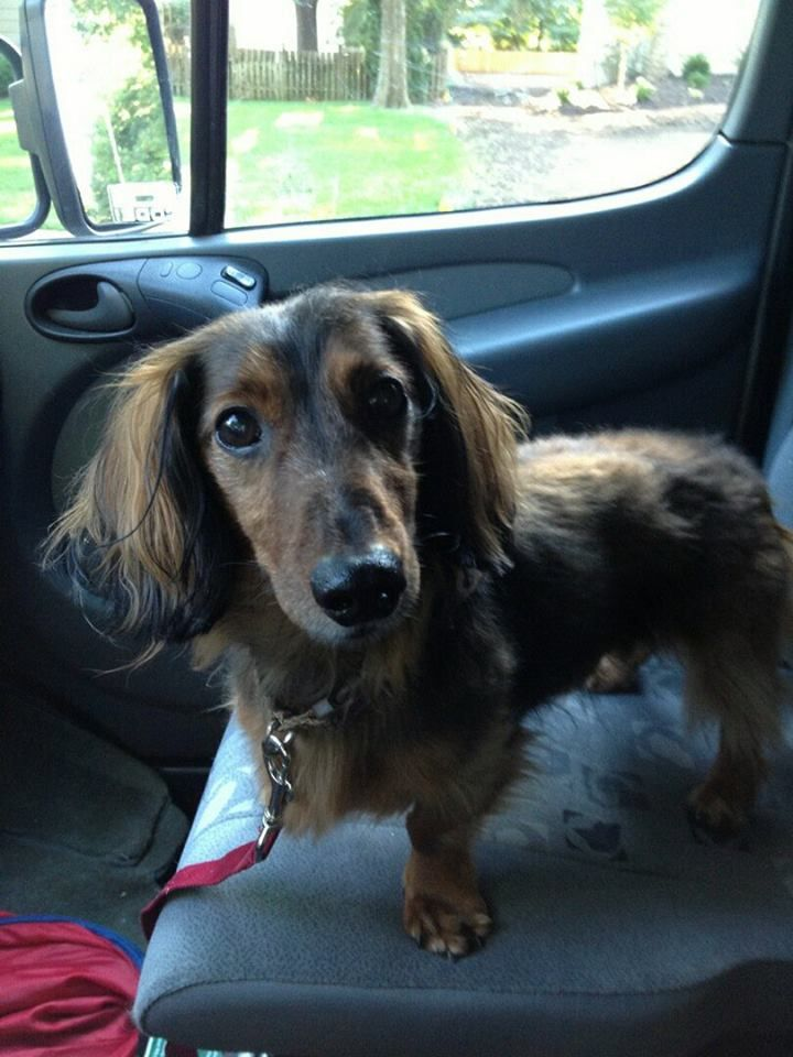Razzy Is An Adoptable Long Haired Dachshund In Kansas City Dog