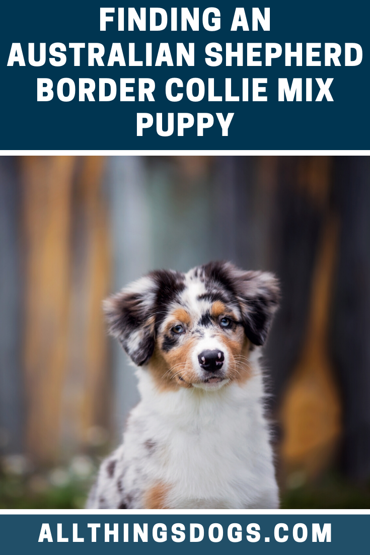 Despite Their Inexpensive Price Tag And Larger Litter Sizes Finding An Australian Shepherd Bo Border Collie Mix Puppies Australian Shepherd Border Collie Mix
