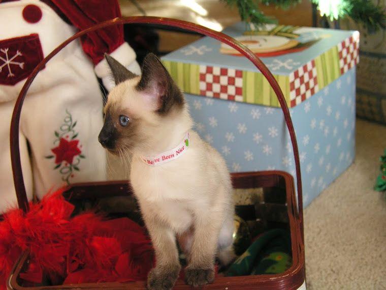 Carolina Blues Cattery Siamese Kittens For Sale Siamese Kittens Kitten For Sale Cattery