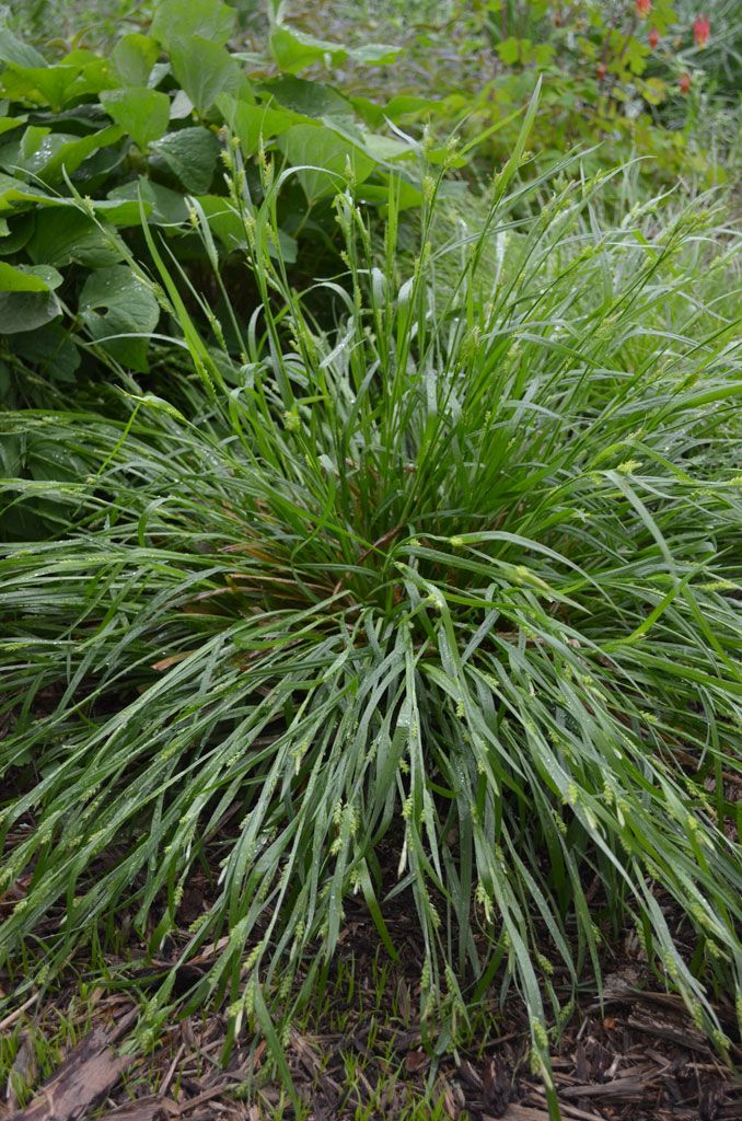 Common Ornamental Grasses Carex blanda common wood sedge germination code c60 pinterest carex blanda common wood sedge workwithnaturefo