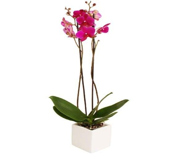 Pink Orchid Plant Gifts Orchids Flowers Uk