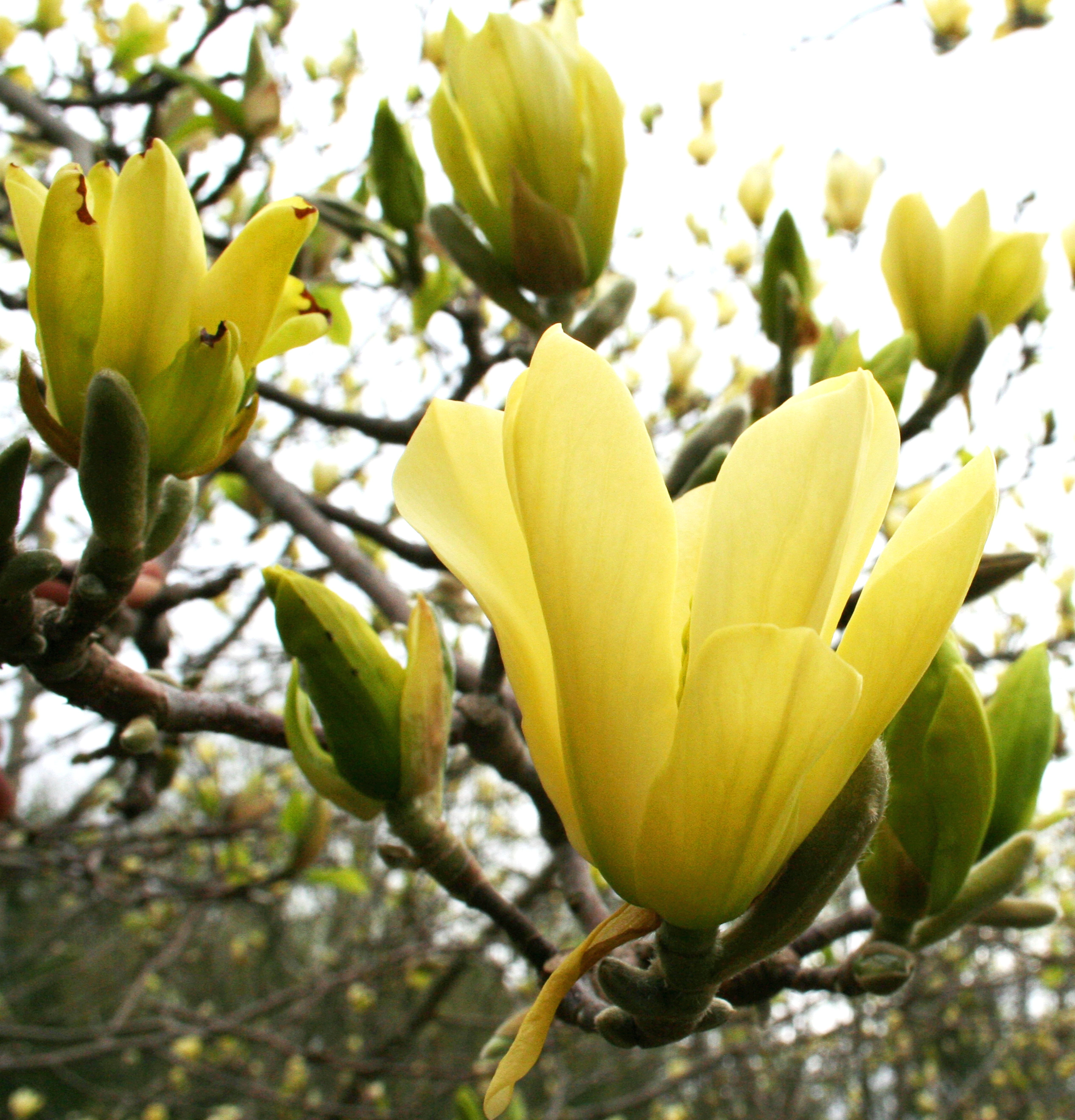 Butterflies magnolia a new introduction of hardy yellow flowering butterflies magnolia a new introduction of hardy yellow flowering magnolia blooms later than saucer magnolia mightylinksfo Gallery