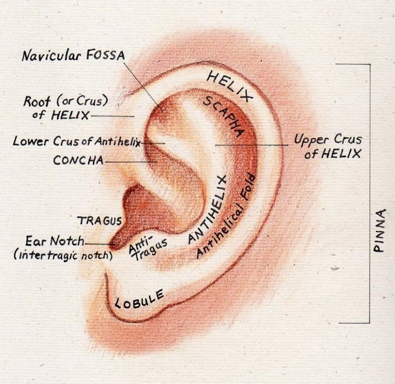 Pin By Dolores Garcia On Nursing In 2019 Ear Anatomy Outer Ear