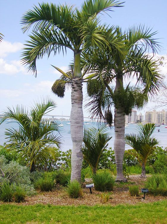 Spindle Palm Trees Hyophorbe Verschaffeltii A Critically Endangered Palm Species Endemic To Rodrigues Island Mauritius Palm Trees Lost Garden Plant Leaves