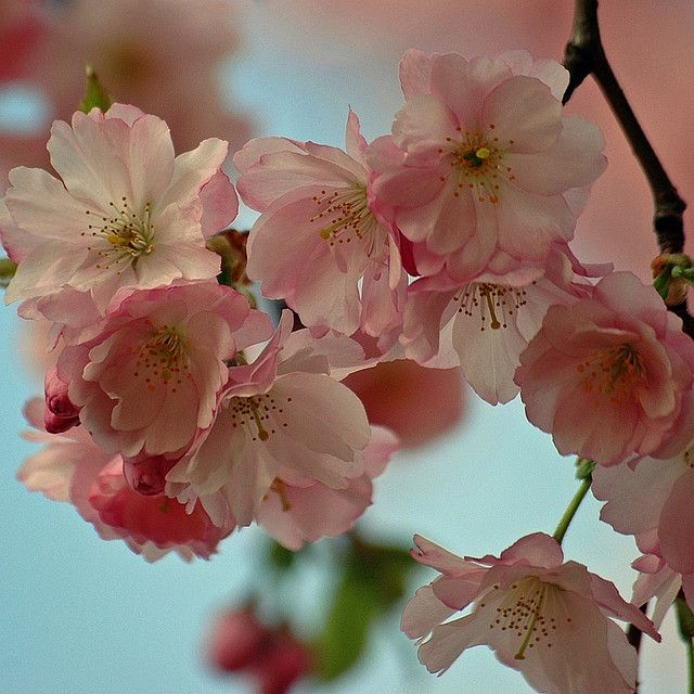 Japanese Cherry Japanische Blutenkirsche Prunus Serrulata Japanese Cherry Japanese Cherry Tree Pretty Flowers