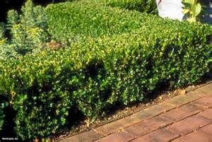 pictures of boxwood gem - Yahoo Image Search Results
