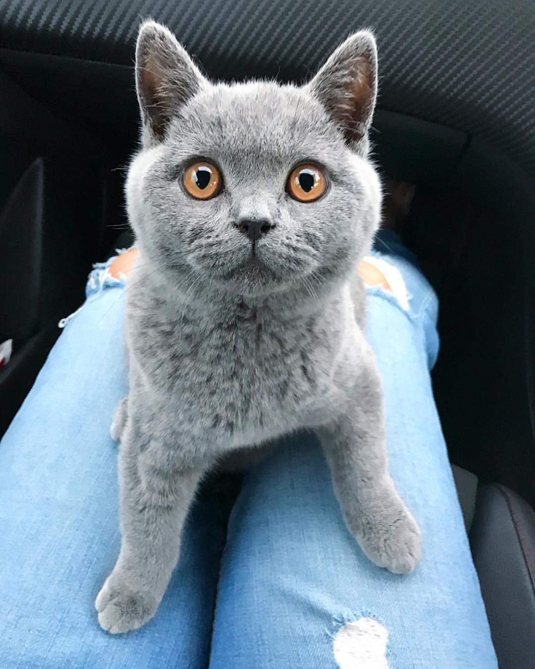 British Shorthair Colourpoint Kitten Cute Cats And Kittens Kittens Cutest British Shorthair Kittens