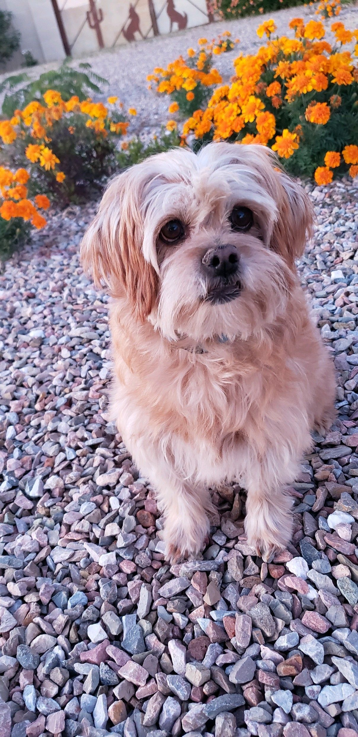 Adopt Queenie On Petfinder Dog Adoption Help Homeless Pets Brussels Griffon
