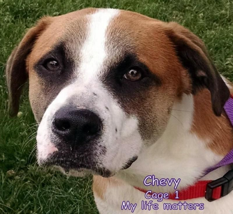Meet 01 Chevy, a Petfinder adoptable Boxer Dog | Canton, OH | Release date 6/17. Chevy was somewhat frightened in his cage.  It took him a while to realize, we...