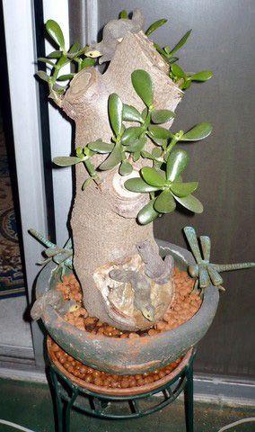 Pin On Jade Plants