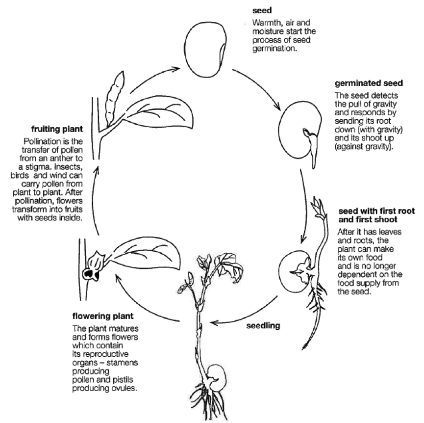 For 4th Grade Plant Life Cycle Diagram Enthusiast Wiring Diagrams