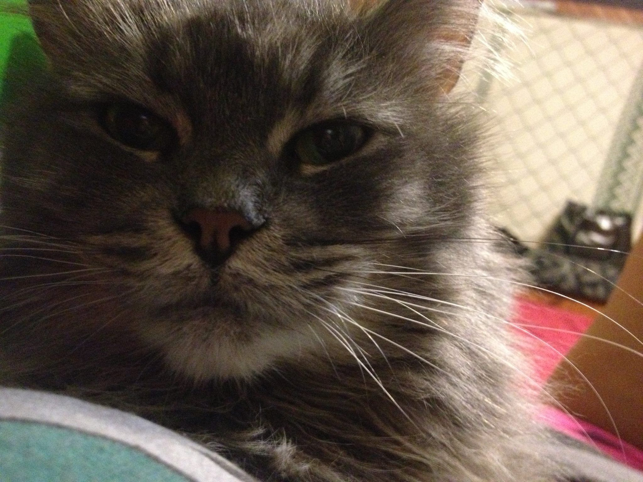 Lost 1yr old Tabby Cat with white paws Toshi tkaratogmail