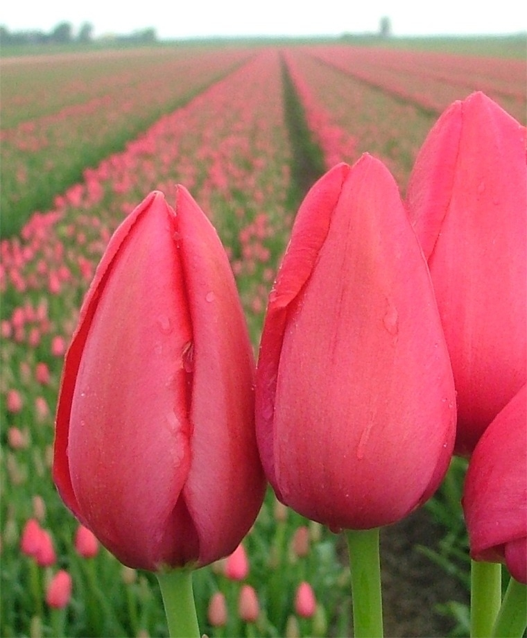 Pin By Amanda Burk On Tulips 20 30 Inches Tulips Rose Flower Wallpaper Bulb Flowers