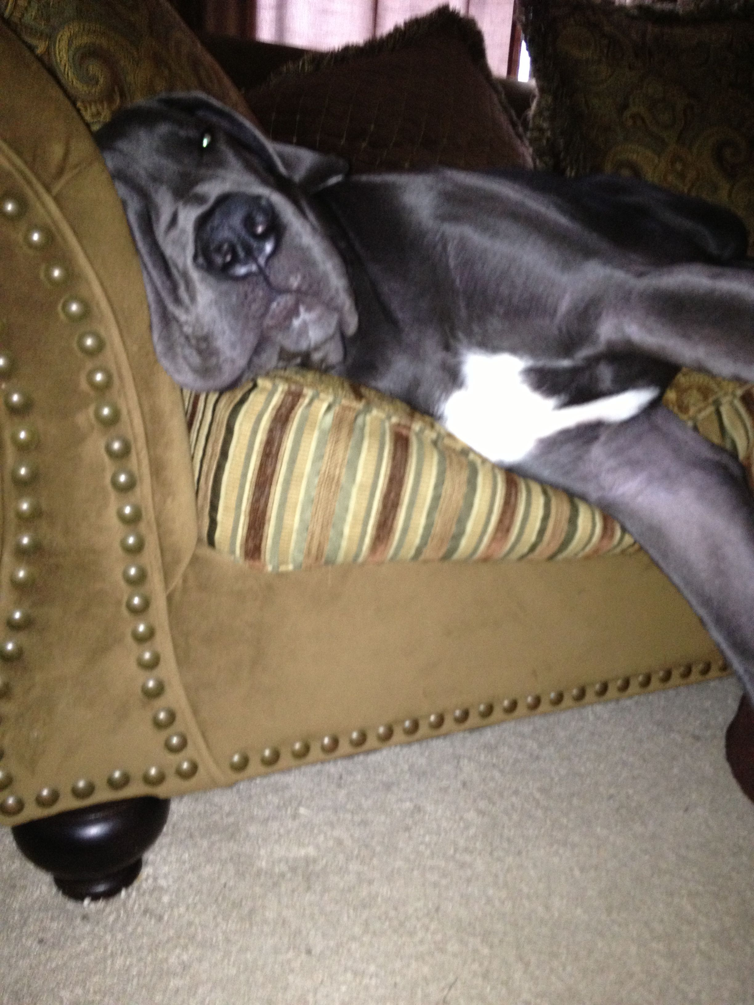 6 Months Blue Great Danes Great Dane Coffee Table