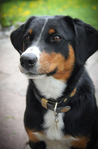 Dinah Vom Appenzeller Wald Entlebucher Sennenhund Sennenhund Hunde