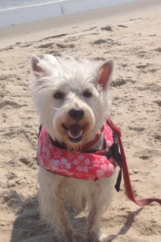 Finley Thinks She S Superdog In Her Life Jacket On The Beach In Nags Head Nc Westie Terrier Cutest Dog Ever Cute Animals