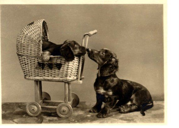 Dog Strollers For Dachshunds Vintage Photo Dachshund In A Doll Carriage
