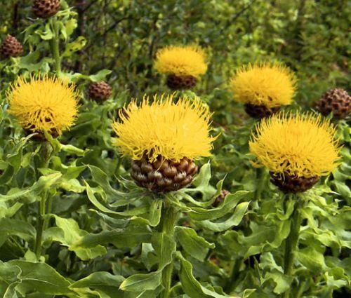 Cornflower Yellow Globe Seeds Centaurea Macrocephala Yellow Perennials Perennials Globe Flower