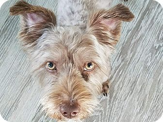 Pin by Lisa A on Adoptable Dogs   Havanese, Schnauzer, Pet