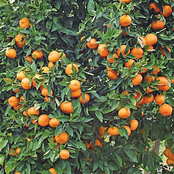 Mandarin Orange Gold Nugget P P Citrus Reticulata Citrus Reticulata Growing Fruit Trees Citrus