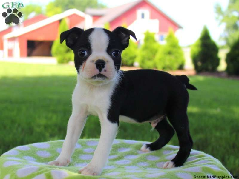 Boston Terrier Puppies For Sale Greenfield Puppies Terrier