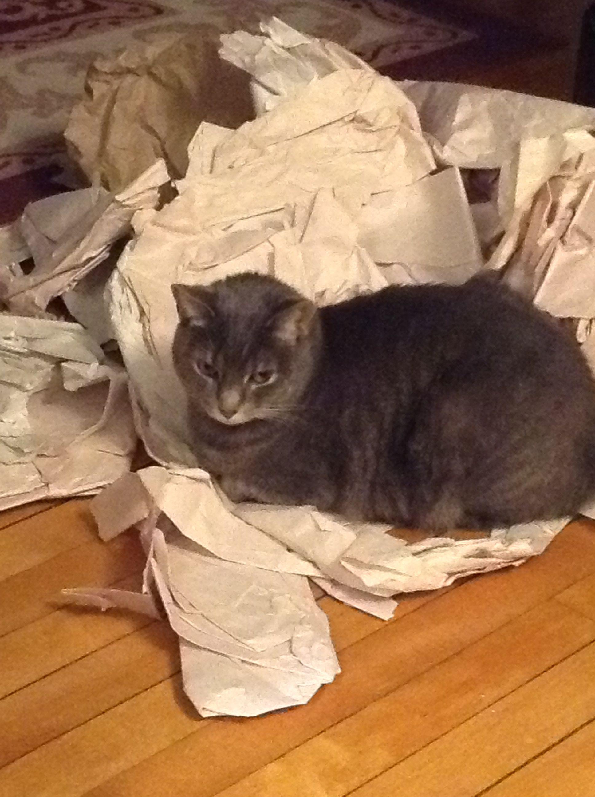 Misty Moo is satisfied that her work is done.   #cat #caturday #MistyMoo #MistyMooofMedfordMA