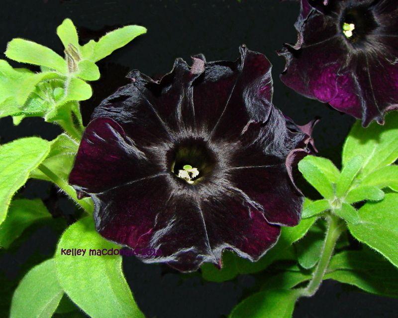 Petunia Black Velvet Petunia X Hybrida Not As Dark As Black