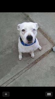 Adopt Ryno On Pets Pitbull Terrier Bull Terrier Mix