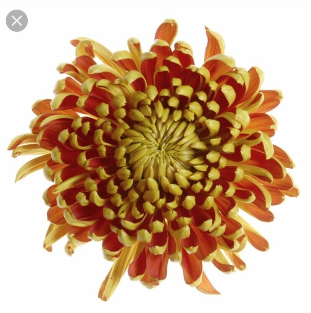 Chrysanthemum Beautiful Bright Colorful Fragrant Decorative Flowers Seeds 100PCS