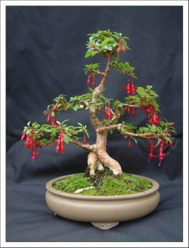 Fuchsia Bonsai : fuchsia, bonsai, Bonsai, Garden, Fuchsia, Hanege, #bonsai, Plants,, Trees, Sale,