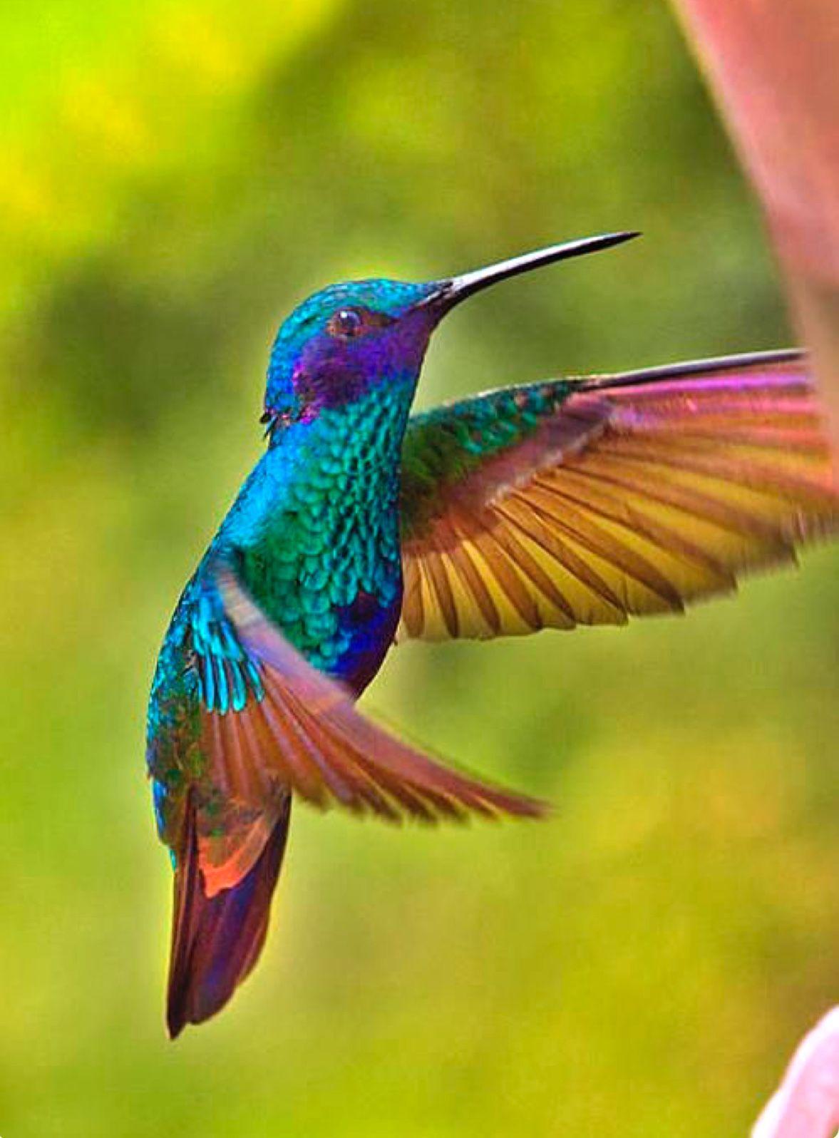 Male Sparkling Violetear (Colibri coruscans). This