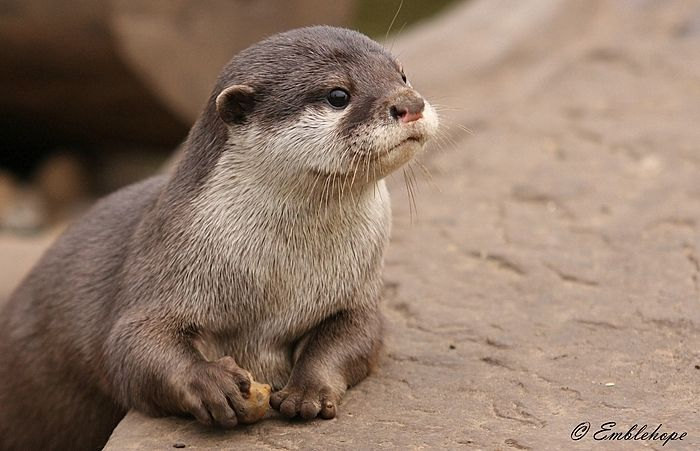 Baby Asian Short Clawed Otter. | otterspace | Otters cute ...