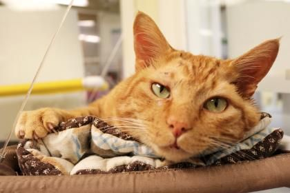 Morris is available for adoption at Seattle Humane (With