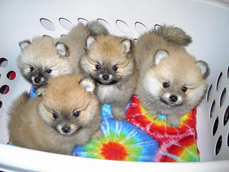 Teacup Pomeranian Dogs For Sale Teacup Pomeranian