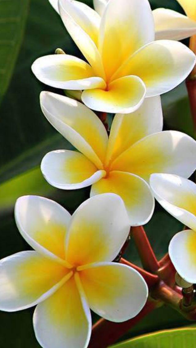 Beautiful Plumeria Flowers Pretty Flowers Tropical Flowers