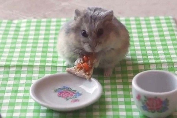Then Comes The Perfect Follow Up Tiny Hamster Eating A Tiny Slice Of Pizza