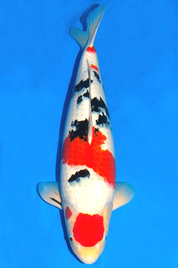Pin Oleh Toni Lopez Di Koi Fish Binatang Ikan