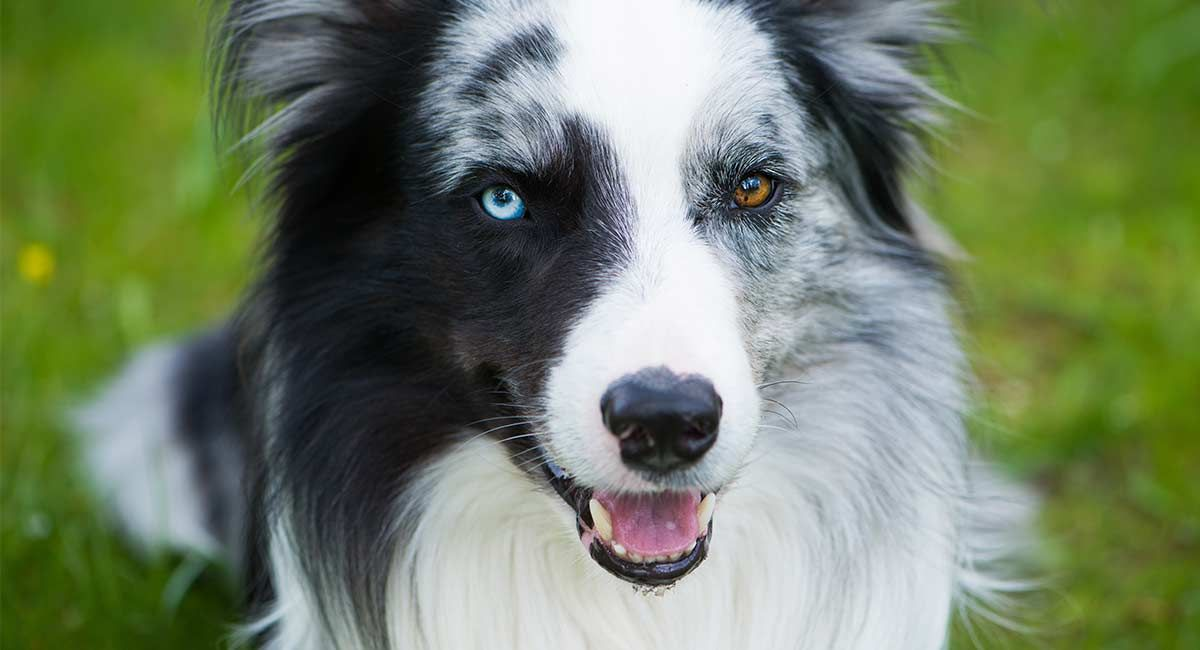 Dogs With Different Colored Eyes Heterochromia In Dogs
