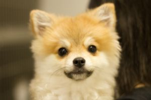 Pomeranian Shiba Inu Mix My Future Dog If Someone S In The Socal Area Please Adopt This Little Guy Shiba Inu Pets Dogs