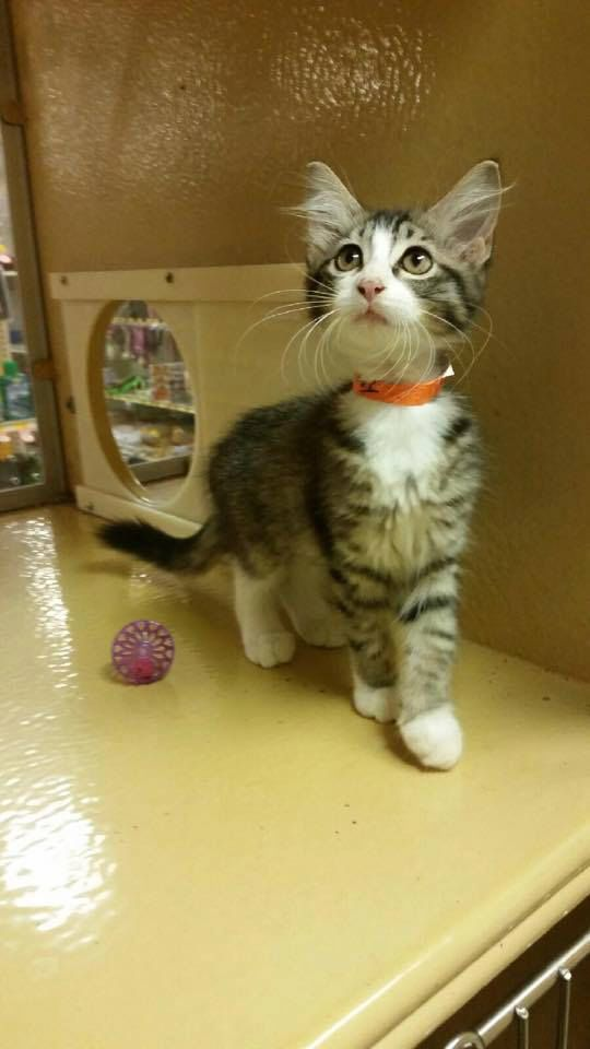 Jemma is a 3 month old female kitten looking for her forever home!! She is available for adoption through Texas Star Rescue and is in the indoor cat room at PetSmart in Longview, Texas #TSRadopt #cat #texasstarrescue #adopt #petsmart #rescue #helpsavealife #rescuedismyfavoritebreed