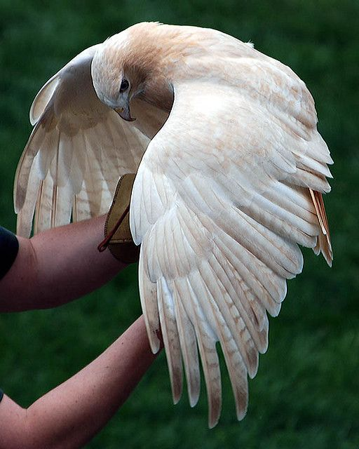 Ivory, a leucistic or white morph red-tailed hawk at Minnesota Zoo.  Wow, just wow!!