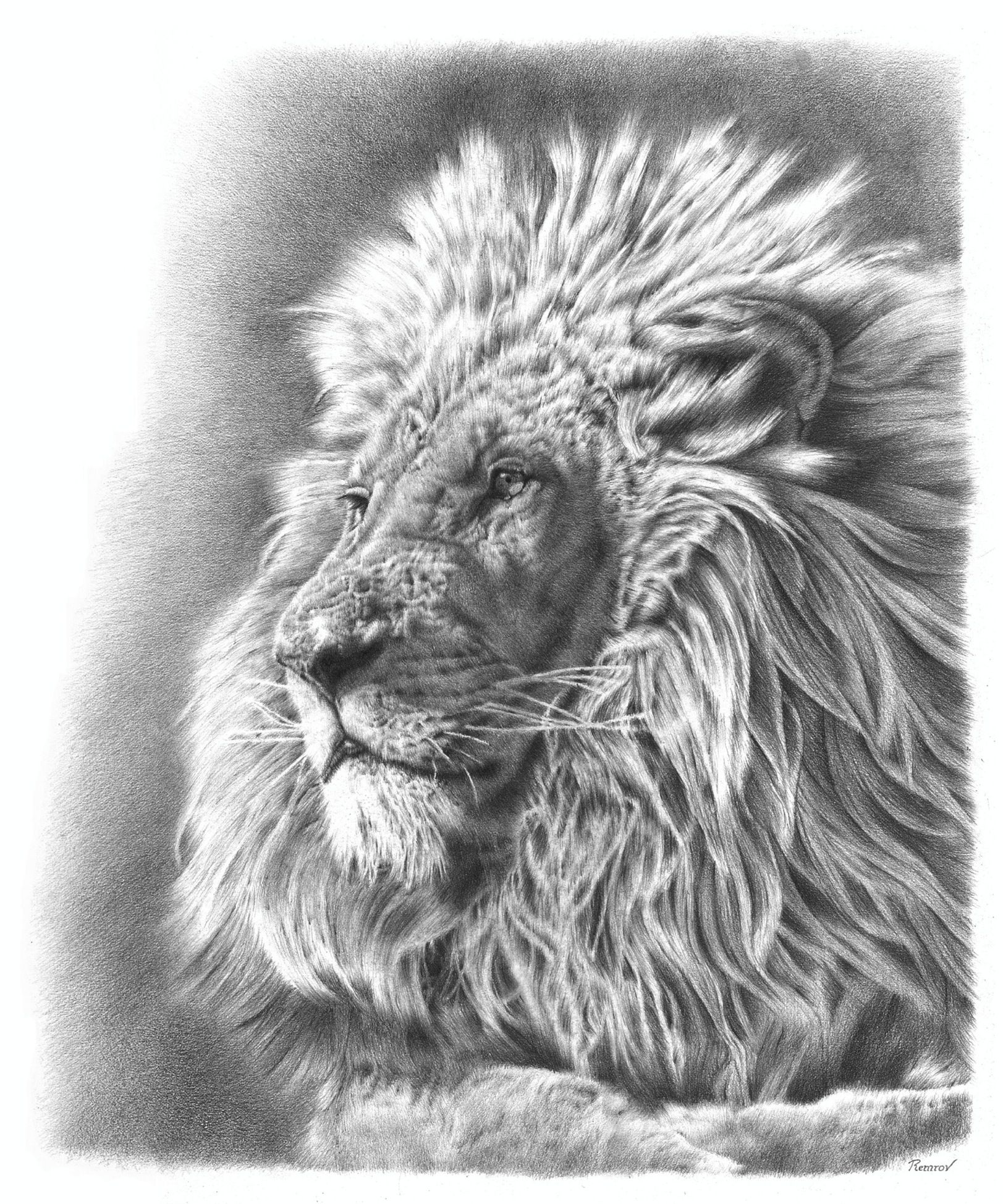 A photorealistic pencil drawing of a lion pencil drawings pencil